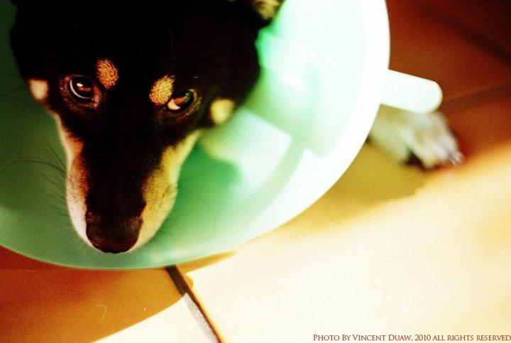 黑柴犬攝影