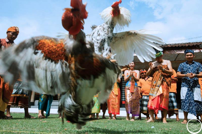 峇里島鬥雞