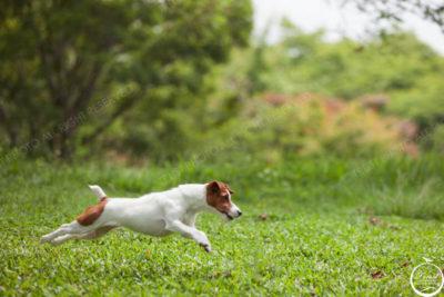 傑克羅素犬-寵物寫真