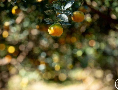 商業攝影|商品攝影|台灣果園|水果攝影|茂谷柑|酵素|蔬菜攝影|人像攝影|雜誌攝影